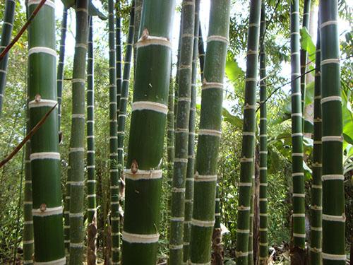 Guadua-angustifolia-1